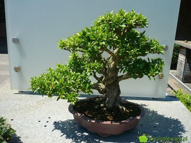 Bonsai zgranatu wstylu dowolnym (jiyuka). Fot.Niepodlewam