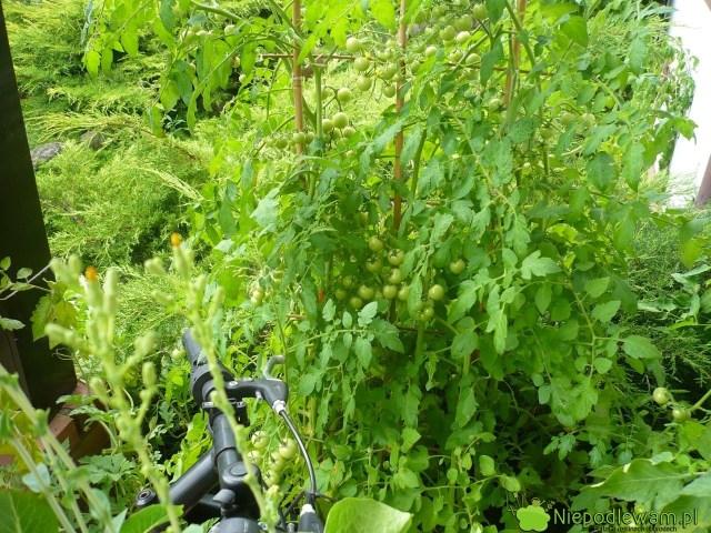 Pomidor Pokusa rośnie bardzo dobrze wdonicach, np.nabalkonie. Fot.Niepodlewam