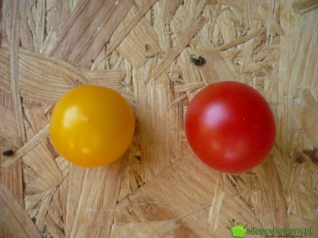 Porównanie dwóch odmian pomidorów koktajlowych: Aztek (żółty) iPokusa (czerwony). Fot.Niepodlewam