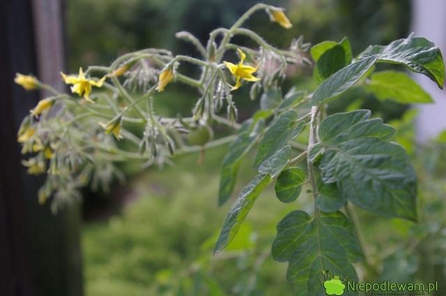 Kwiaty pomidora Pokusa. Fot.Niepodlewam