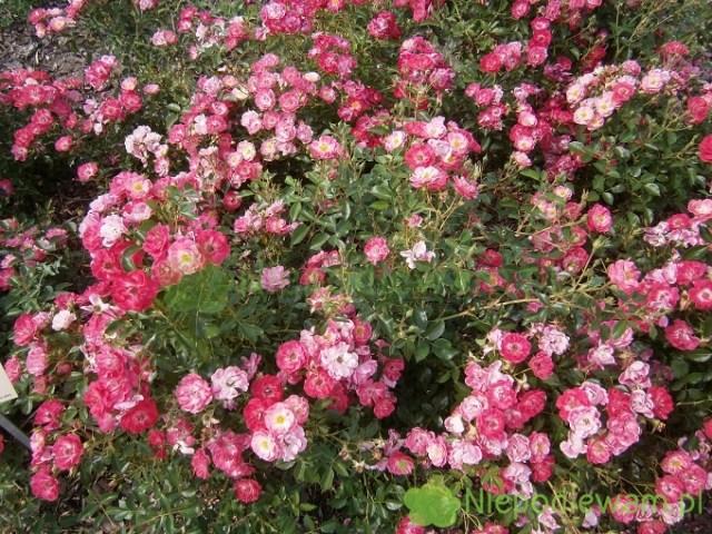 Róża Matchpoint zwykle jest szersza niż wyższa. Tworzy różany dywan. Fot.Niepodlewam