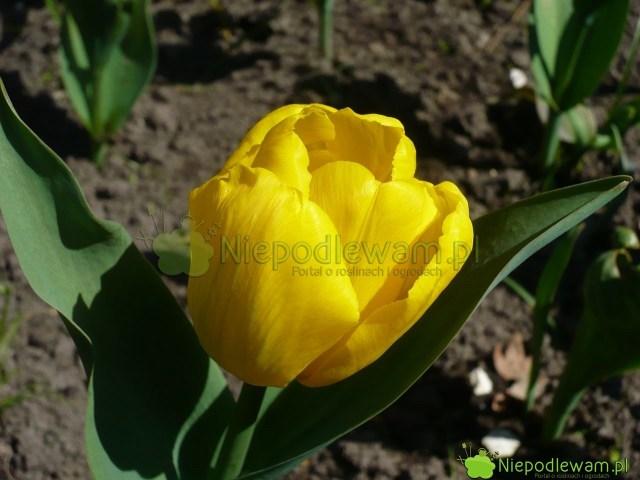 Tulipan Kikomachi rzadko choruje. Tozdrowo rosnąca, niekłopotliwa odmiana. Fot.Niepodlewam
