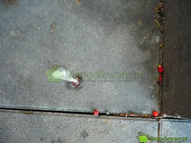 Czerwone osnówki żeńskich cisów pospolitych lubią zjadać ptaki. Minusem  są zabrudzone ścieżki. Fot.Niepodlewam