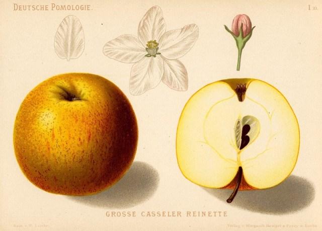 """Jabłoń Reneta Kaselska – rysunek zksiążki """"Deutsche Pomologie"""" Wilhelma Lauche z1882-1883, zezborów biblioteki Wageningen UR. Ta odmiana znana jest wPolsce także jako Reneta Kasselska iKaselskie."""