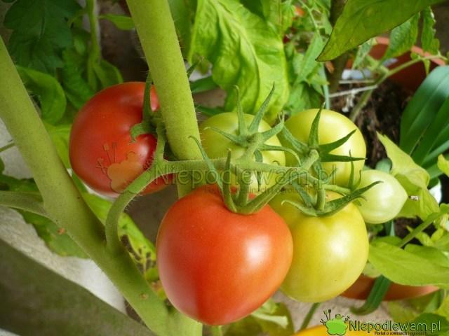 Pomidor Malinowy Retro ma wgronach zwykle po4-5 owoców. Nadliczbowe są malutkie. Fot.Niepodlewam