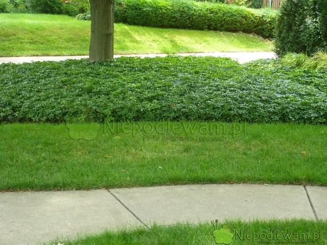 W zacienionych miejscach, np.poddrzewami, zamiast trawnika można sadzić różne rośliny. Tutaj trawnik przeplatają łany runianki japońskiej. Fot.Niepodlewam