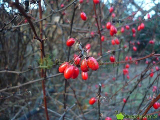 Berberysy Thunberga mają czerwone owoce. Wzależności ododmiany są bardziej owalne ipodłużne. Nazdjęciu: berberys Thunberga Atropurpurea. Fot.Niepodlewam