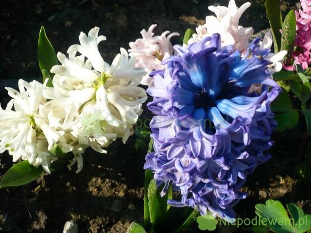 Dzięki nawożeniu, hiacynty kwitną obficie iwydają więcej młodych cebulek. Fot.Niepodlewam