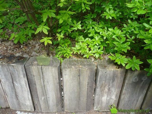 Palisada ogrodowa zdrewnianych belek. Fot.Niepodlewam