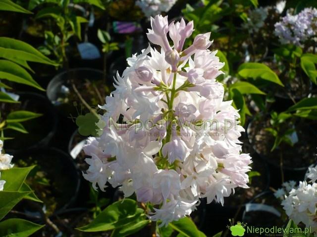 Bez Krasawica Moskwy został pierwszy raz pokazany publicznie w1943 roku. Ma różowobiałe, podwójne kwiaty. Ślicznie, średnio mocno pachnie. Fot.Niepodlewam
