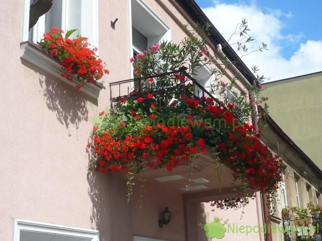 Mały balkon zpelargoniami bluszczolistnymi ioleandrami. Fot.Niepodlewam
