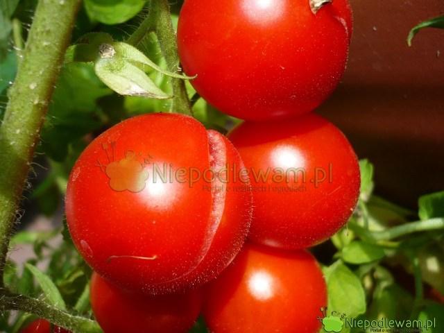 Ten pomidor miał najpierw zasucho, anastępnie został obficie podlany. Efekt: pęknięte owoce. Nazdjęciu jest odmiana Maskotka. Fot.Niepodlewam