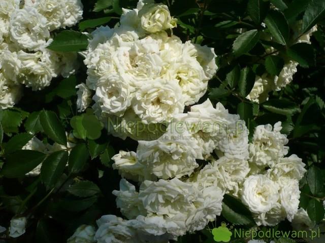 Na wielkość kwiatów róży Alba Meidiland ma wpływ nawożenie. Fot.Niepodlewam