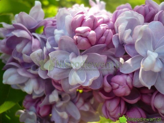 Bzy nawożone co roku mają grube, gęste kwiatostany. Fot.Niepodlewam