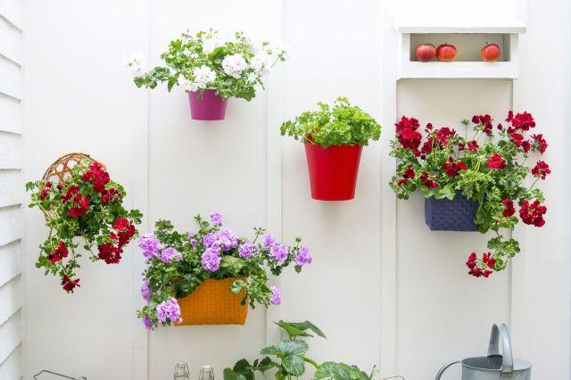 Pelargonie bluszczolistne naścianie balkonu. Fot.Pelargonium for Europe