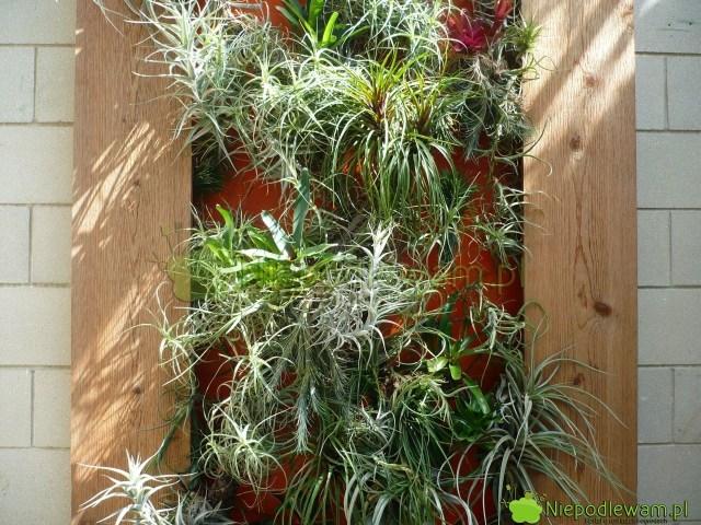 Ogród wertykalny zegzotycznymi roślinami woranżerii. Fot.Niepodlewam