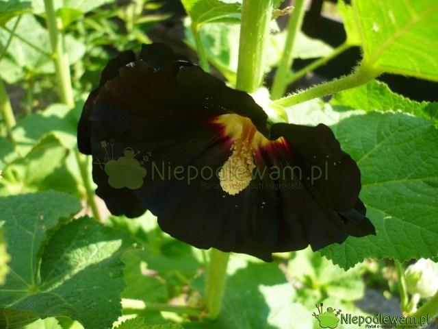 Malwa czarna Nigra. Fot.Niepodlewam
