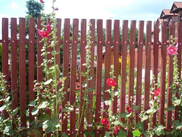 Malwy dorastają dookoło 250 cm. Warto je sadzić przy ogrodzeniach. Fot.Niepodlewam
