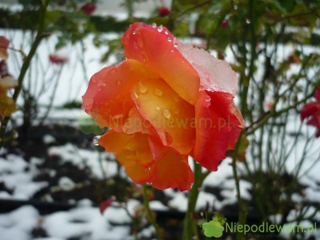 Róża Samba kwitnie aż domrozów. Fot.Niepodlewam