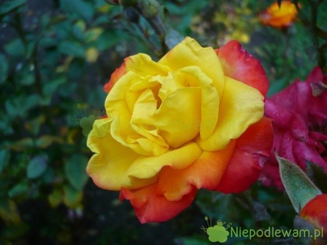Róża Samba jest wielobarwna: bardziej żółta wśrodku, aczerwona nazewnątrz. Każdy kwiat jest trochę inny. Fot.Niepodlewam