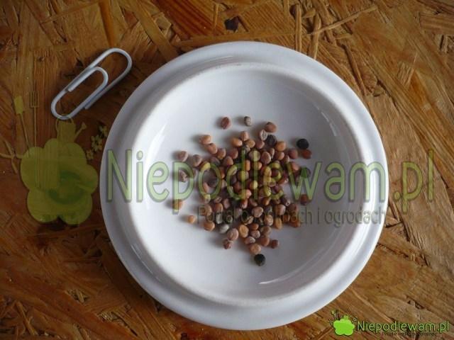 Nasiona rzodkiewki Mila. Fot.Niepodlewam