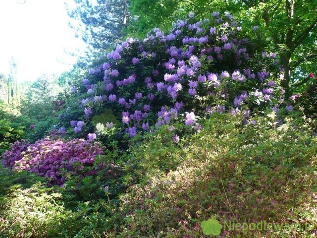 Różaneczniki lubią półcień. Dobrze rosną np.podwysokimi drzewami. Fot.Niepodlewam