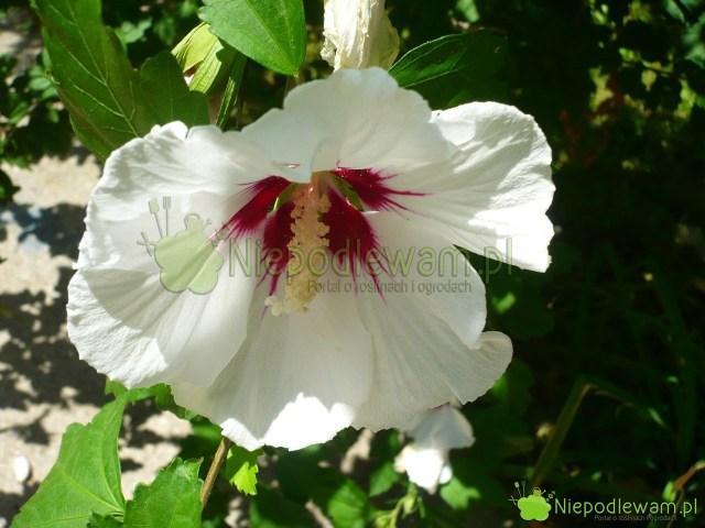 Ketmia syryjska znana jest podwieloma nazwami, m.in.hibiskus ogrodowy. Fot.Niepodlewam