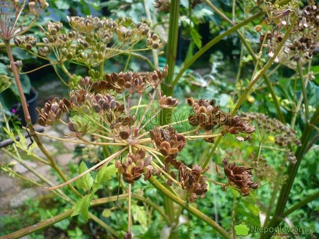 Nasiona pasternaku szybko tracą zdolność kiełkowania podczas przechowywania wdomu. Lepiej posiać je przedzimą niż czekać dowiosny. Fot.Niepodlewam