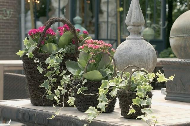Bluszcz pospolity jako roślina doniczkowa. Fot.Fot.Flower Council of Holland/thejoyofplants.co.uk