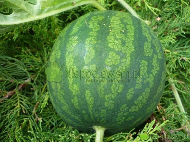 W polskim klimacie arbuz najlepiej uprawiać zrozsady. Towarzywo ma długi okres wegetacyjny. Fot.Niepodlewam