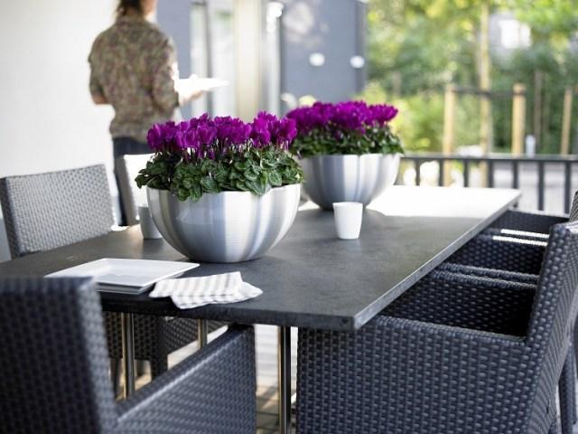 Cyklameny perskie toelegancja dekoracja np.stołu. Fot.Flower Council of Holland/thejoyofplants.co.uk