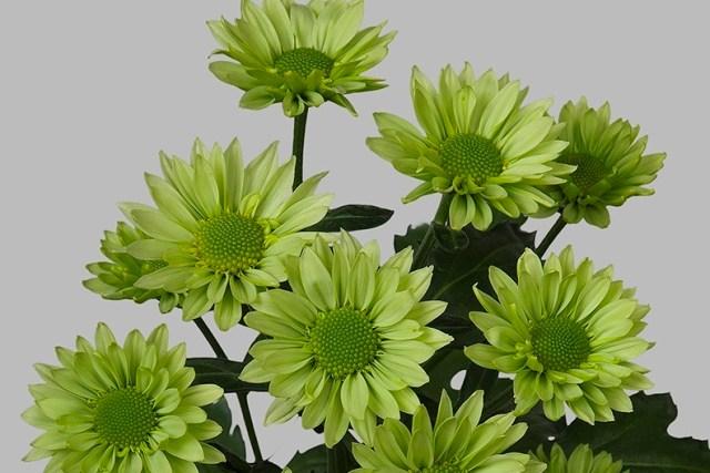 Chryzantema Greenlizard. Fot.JustChrys.com
