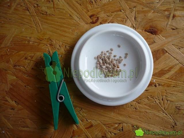 Nasiona pomidora Malinowy Warszawski. Fot.Niepodlewam