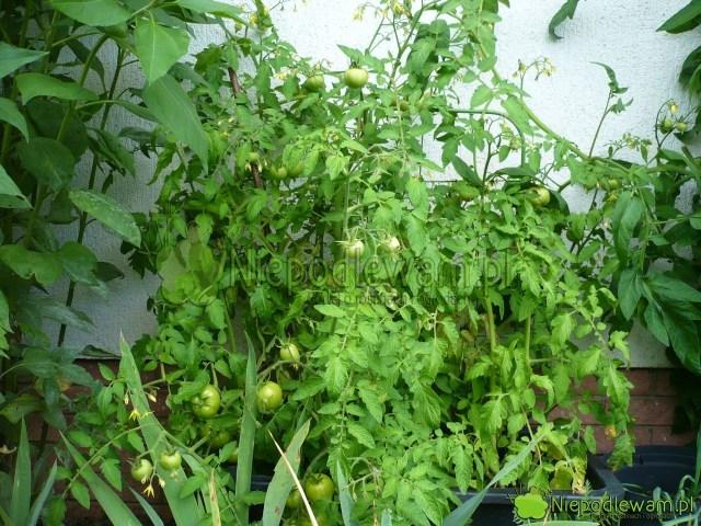 Pomidor Poranek uprawiany wdonicy. Fot.Niepodlewam