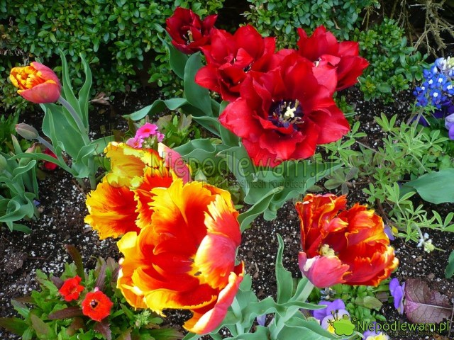 Tulipany Bright Parrot (żółto-pomarańczowy; bezzapachu) orazUncle Ben (czerwony; ślicznie, mocno pachnący). Drobne kwiaty tonemezja powabna. Fot.Niepodlewam