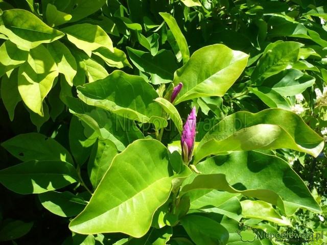 Powtórne kwitnienie magnolii Jane. Fot.Niepodlewam