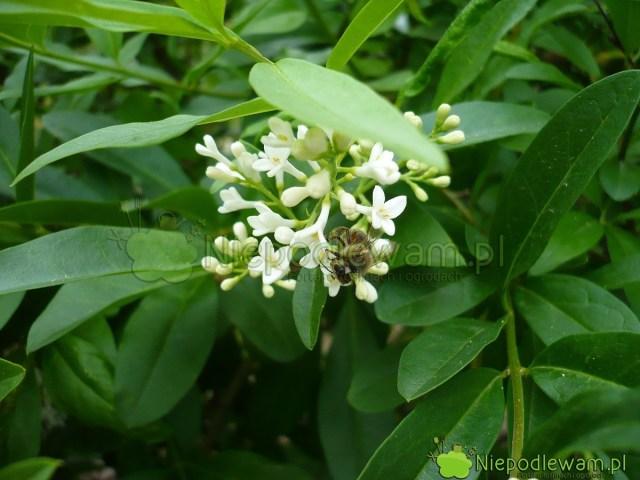 Kwiaty ligustrów pięknie pachną. Chętnie odwiedzają je pszczoły. Fot.Niepodlewam