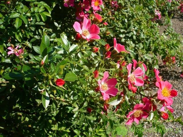 Róża Tommelise jest szersza niż wyższa. Fot.Niepodlewam