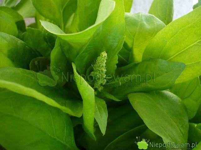 Szpinak Asta zaczyna kwitnąć wpierwszych dniach maja (V). Dotego czasu najlepiej go zjeść. Fot.Niepodlewam