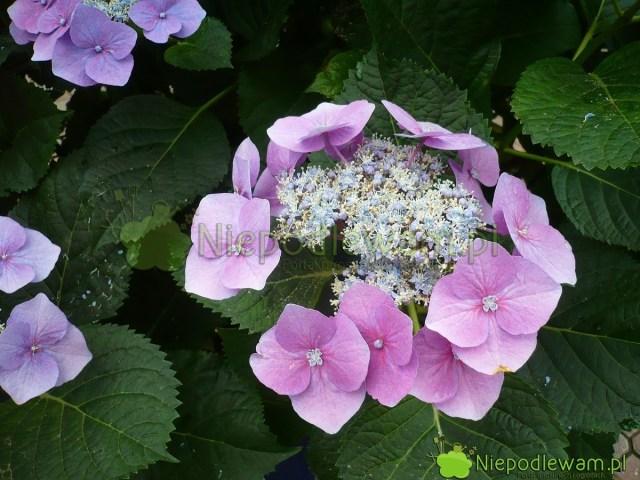 Hortensja ogrodowa Lace Cap zkwiatostanem płaskim (koronkowym). Fot.Niepodlewam