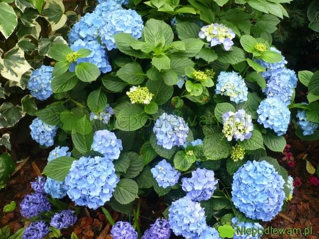 Niebieska hortensja ogrodowa. Fot.Niepodlewam