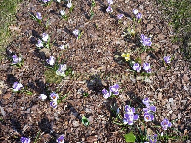 Cebule krokusów zwykle sadzi się co 5-10 cm. Tutaj są posadzone rzadziej, zinnymi kwiatami cebulowymi, które zakwitają później. Fot.Niepodlewam