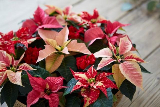 Prawidłowo pielęgnowane gwiazdy betlejemskie mają kolorowe przylistki pięknie, mocno wybarwione. Fot.Stars for Europe