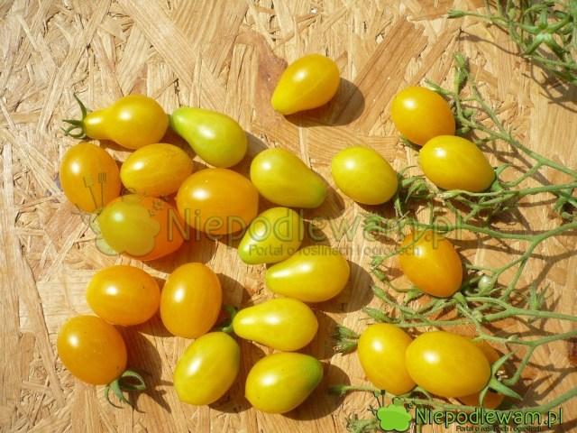 Pomidor Yellow Pearshaped toodmiana typu koktajlowa. Ma żółte, drobne owoce wkształcie gruszek. Tobardzo stara odmiana, prawdopodobnie zXVIII wieku. Fot.Niepodlewam