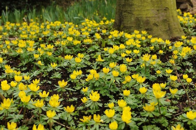 Rannik zimowy świetnie rośnie poddrzewami ikrzewami liściastymi. Kwitnie nażółto. Fot.iBulb