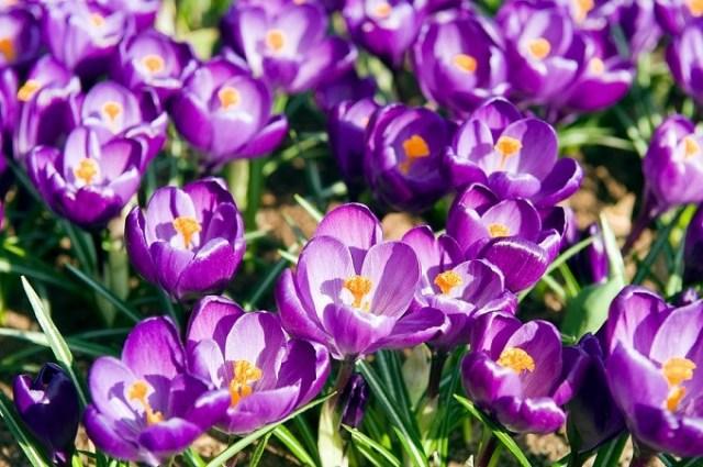 Krokus wiosenny Flower Record. Fot.iBulb