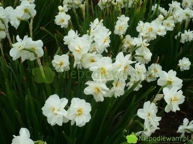 Narcyz Sir Winston Churchill ma kwiaty białe, podwójne, zdługimi płatkami. Środki są cieniowane nażółto. Fot.Niepodlewam