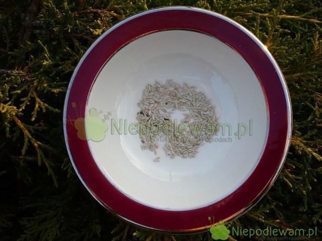 Nasiona sałaty masłowej przypominają przecinki. Fot.Niepodlewam