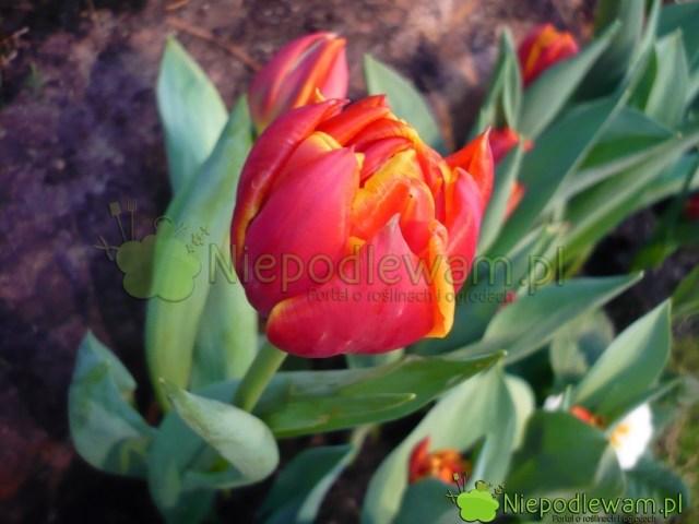 Płatki tulipanów Cilesta są cieniowane kolorami czerwonym, pomarańczowym iżółtym. Fot.Niepodlewam