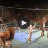 leeuwen in circus